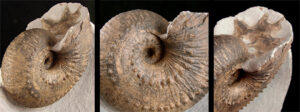 An ammonite