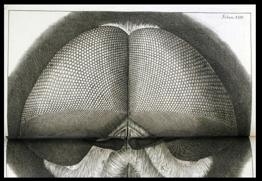 The eyes of a fly as shown in Micrographia.