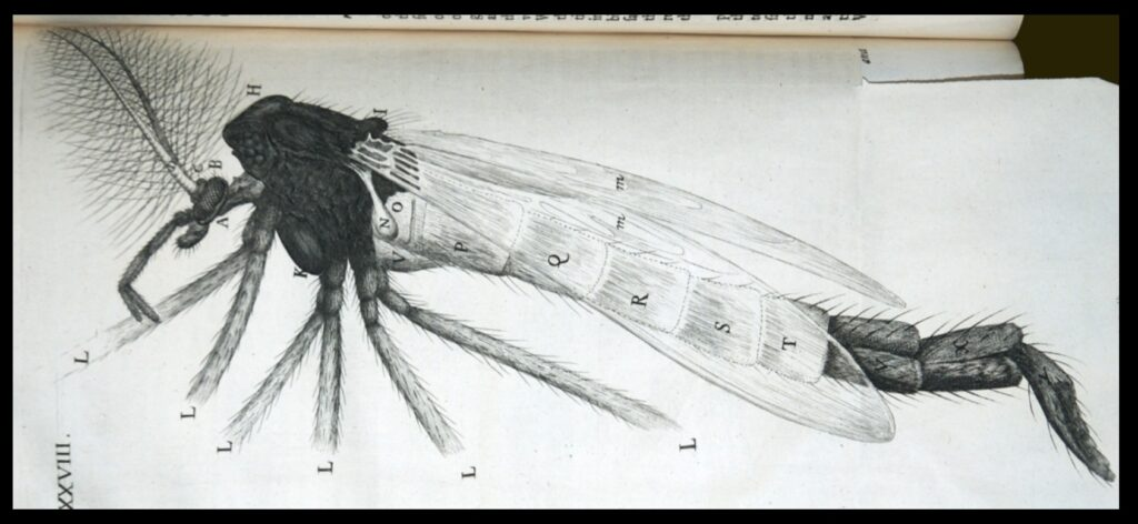 Micrographia's illustration of an insect.