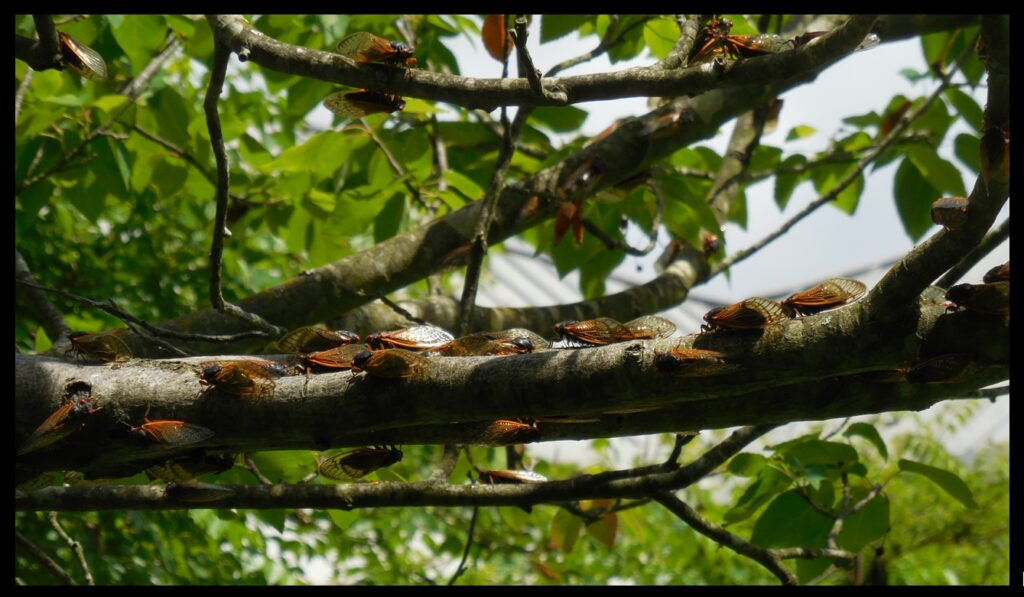 This photograph and the next two are of cicadas in one of the trees at the Benjamin Banneker Historical Park and Museum.